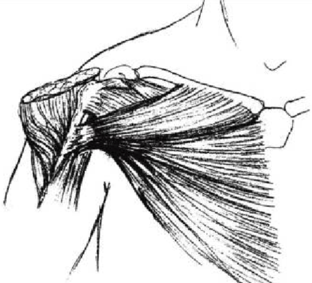 Pectoralis Major Anatomy Drawing